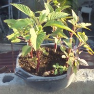 Exciting Developments in Urban Gardening Taking Root in Shada, Cap-Haitien