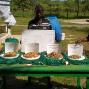 A Successful Peanut Harvest in Cap-Haitien
