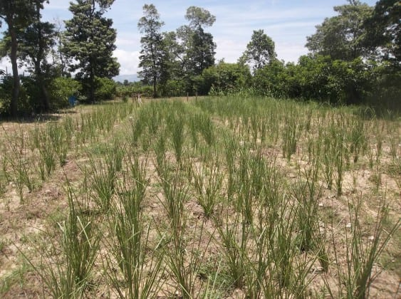 One of the vetiver experimental plots in Port-au-Prince