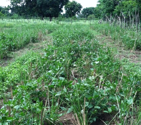 The vetiver experiment in Cap-Haitien planted with beans