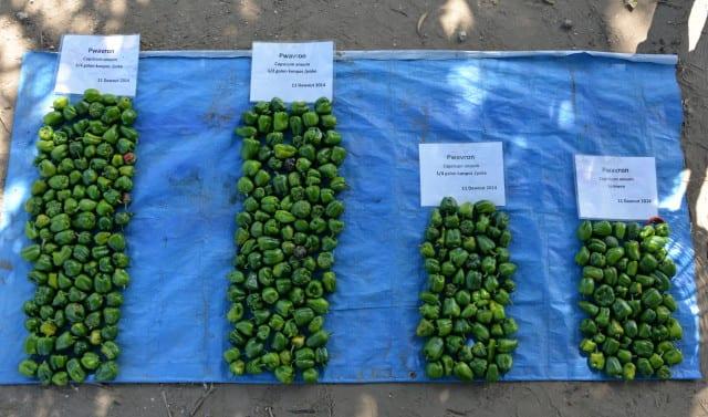 141028 Penye Pepper Harvest 7 Prof (RicardoV)